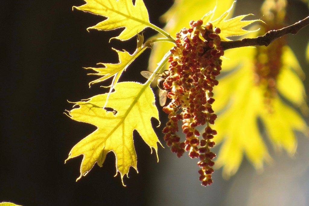 05.11.16 New Oak Leaves