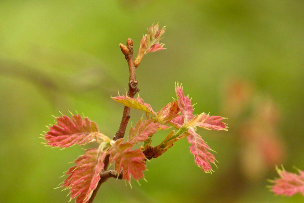 05.13.16 New Oak Leaves