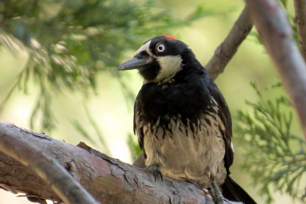 06.20.17 Acorn Woodpecker