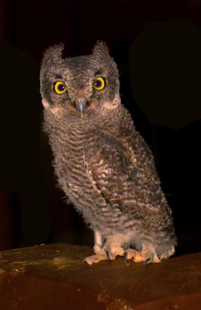 Owl fledger tweaked 1.2 MB file